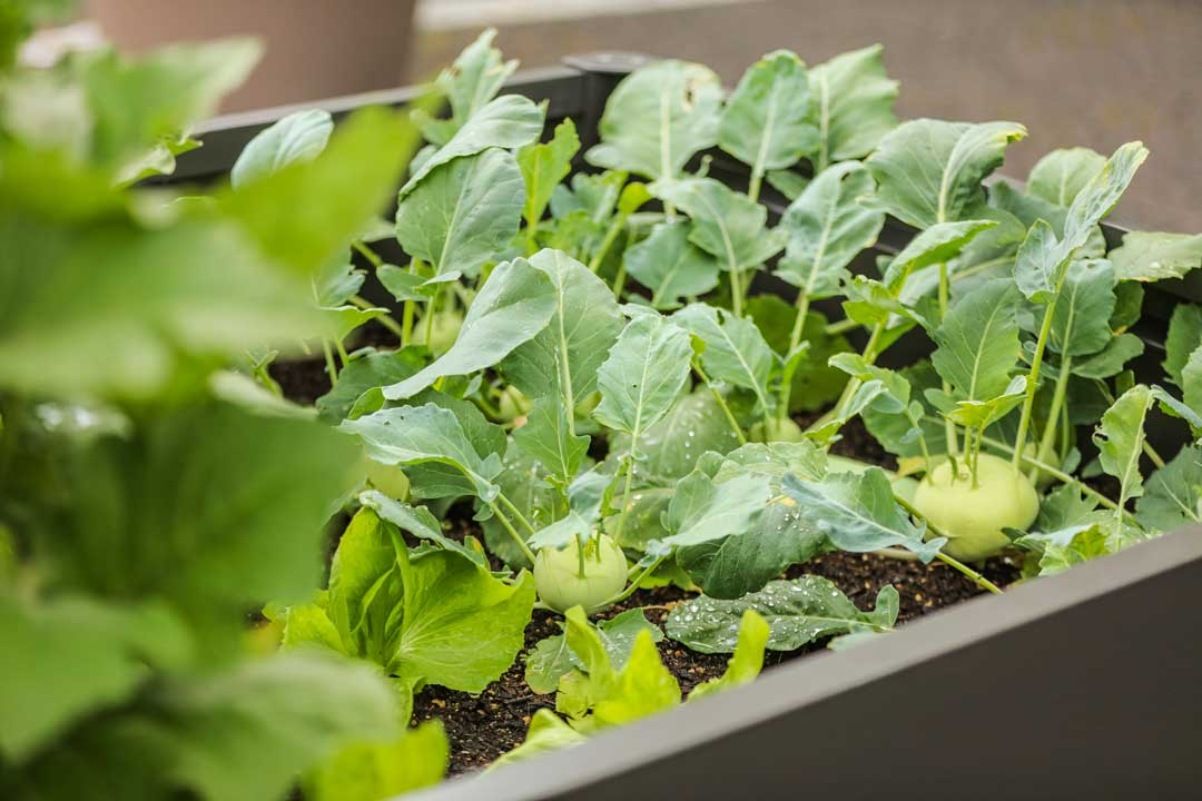A vegetable patch growing organic food at the sustainable hotel SCHWARZWALD PANORAMA